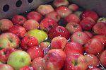 Priprava jabolk na stiskanje (foto: Stanka Dešnik)